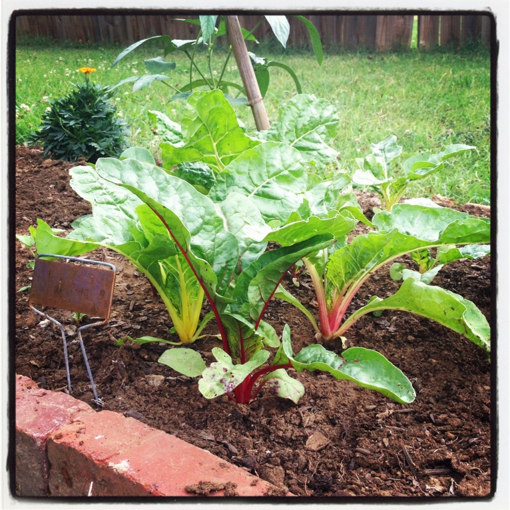 Swiss Chard in our Garden